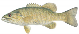 smallmouth_bass_05-03-12